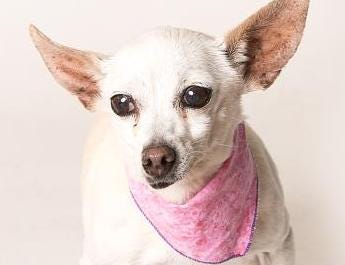 Trixie is an energetic 11-year-old tripod. She lost her leg in a hit-by-car accident, but she is healing very nicely. Check out her live Periscope video at www.pscp.tv/w/1OdKrpRzAdqJX. She is currently in foster care with a shelter staff member who has a 2-year-old child and three other dogs. Contact her foster mommy at jennylynne28@gmail.com if you're interested in adopting this lap-dog extraordinaire. She is very kind, gentle and sweet, with a wonderful disposition. She'd be great for a family or retired couple who need a laid-back addition to their household. Check out more animals at Ventura County Animal Services by visiting www.vcas.us.
