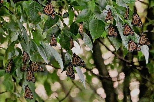 Monarchs Roosting