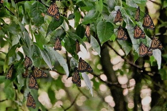 Dustin Boyarski captures a photo of monarchs roosting in a tree in the Town of Clayton in Winnebago County on Sept. 2.