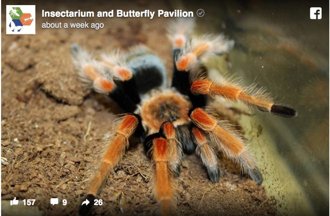 A Facebook post from the Philadelphia Insectarium shows a Mexican fireleg tarantula.