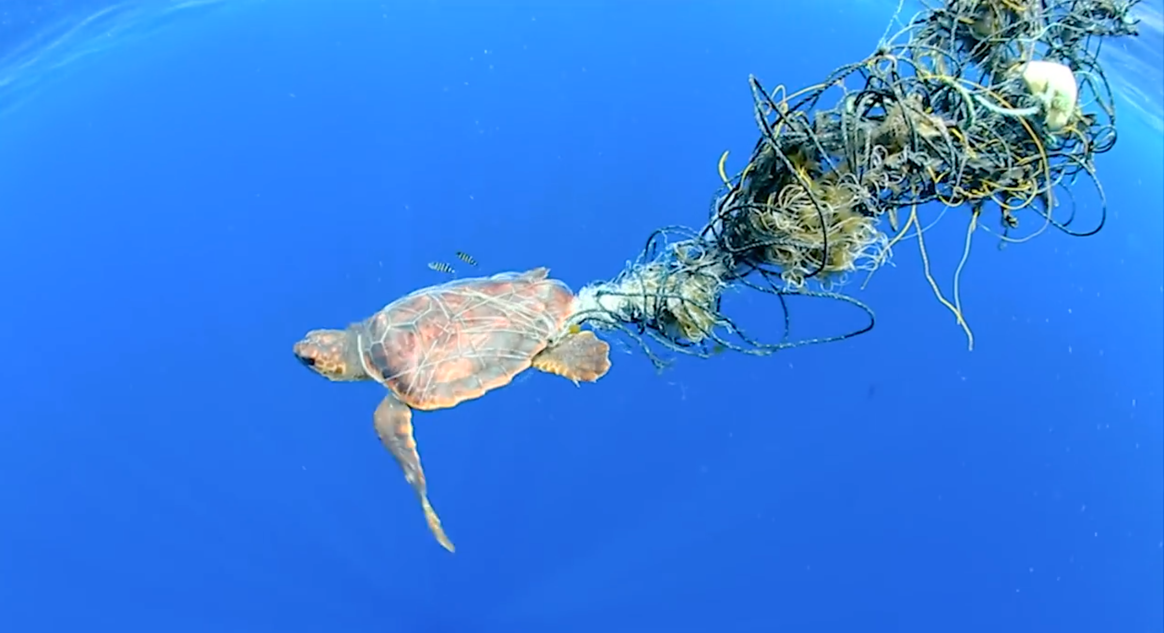 A sea turtle is caught in abandoned fishing nets. A project aims to clean up huge tracts of floating plastic that have collected in the Pacific.