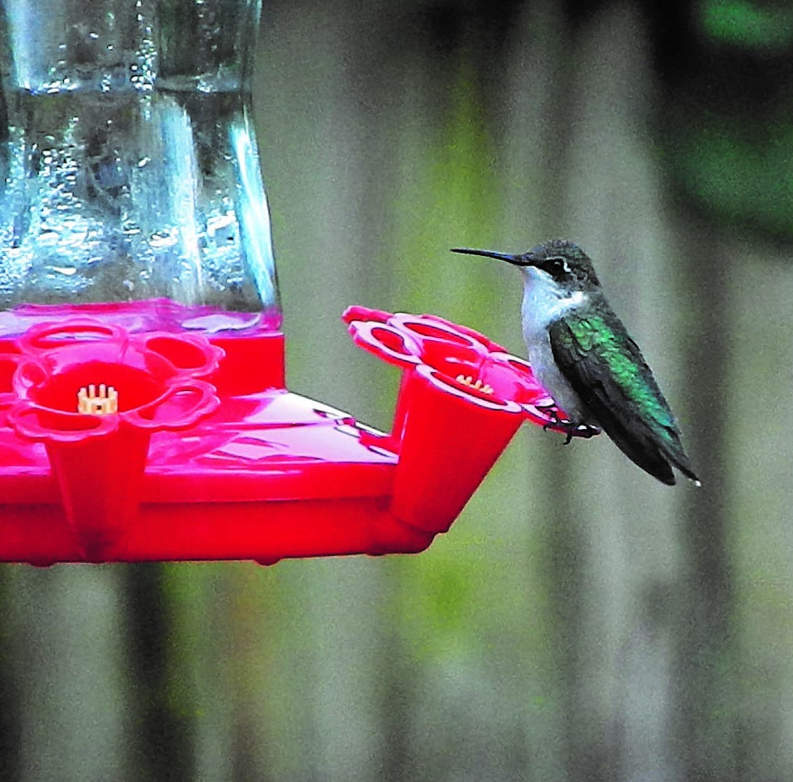 Tips on spotting hummingbirds