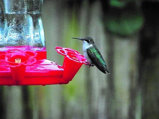 A female hummingbird enjoying a feeder in Debbie Price's Melbourne yard.