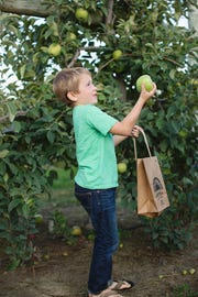 Children enjoy pulling apples off their branches at Johnson's Corner Farm orchards in Medford