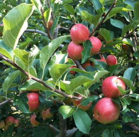 8 South Jersey apple orchards where fruit is ripe for the picking