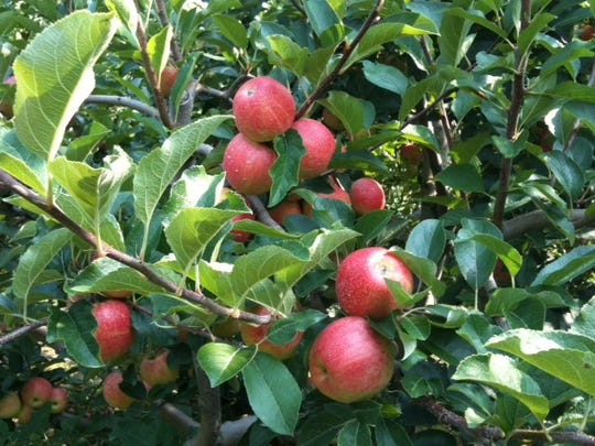 South Jersey farms offer pick-your own operations as the apple harvest begins. These clustered beauties are at Duffield's Farm in Sewell.