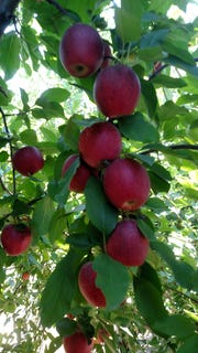Clusters of apples ready for harvest at the pick-your-own operation at Duffield's Farm in Sewell