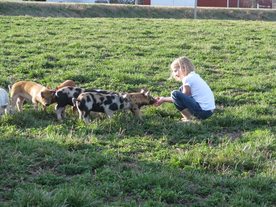 The granddaughter of Paul Willis, the first Iowa farmer to become a Niman Ranch pork producer, plays with pigs near Thornton, Iowa.