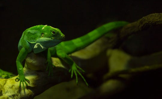 A Fiji banded iguana lounges under a heat lamp in the Creatures of the Night exhibit in the Kley Memorial Building at the Mesker Park Zoo and Botanic Garden Thursday morning.