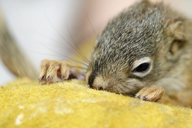 A juvenile red squirrel is among the young animals that have been brought to Bay Beach Wildlife Sanctuary in Green Bay for rehabilitation.