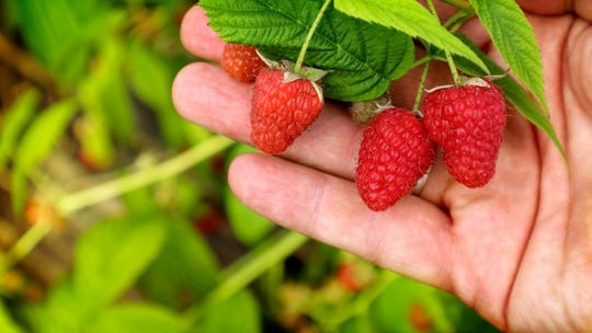 Crimson Treasure is a fall-bearing raspberry with bright-red fruit that holds its color and texture well in storage.