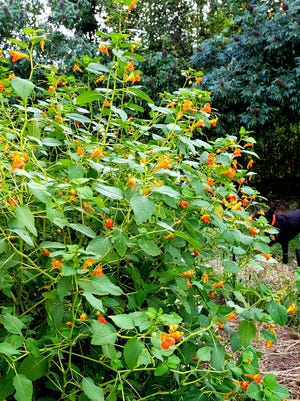 Jewelweed's small flowers are loaded with super sweet nectar.