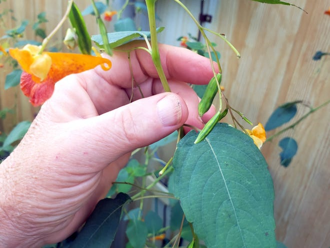 The tightly wound capsules are poised to explode their seeds.