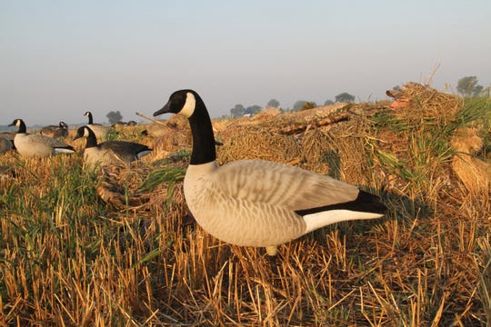 Hunters in layout blinds in a field near Randolph, Wis. watch for geese during the Wisconsin Early September Canada Goose season.