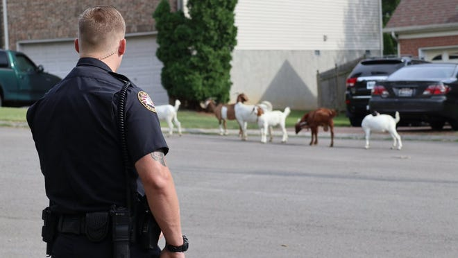 Mt. Juliet Police responded to a call from a resident about goats in her front yard around 4 p.m. Friday. They found their way home later in the afternoon.