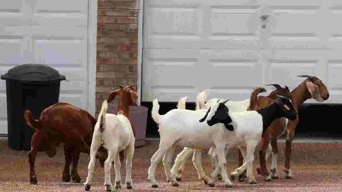 herd of goats flocks to mt juliet neighborhood police help them