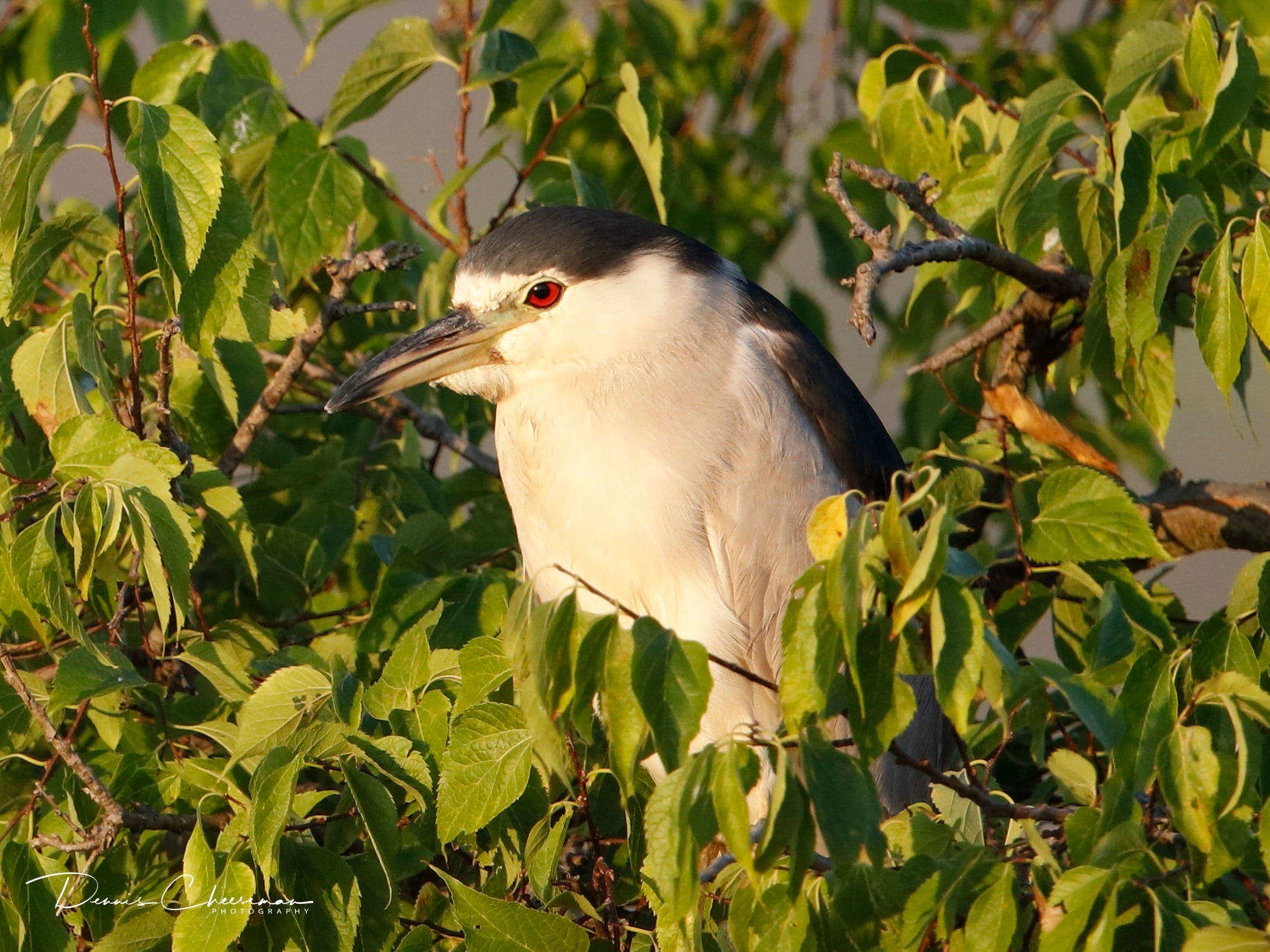 Black crowned night heron in Lyndhurst