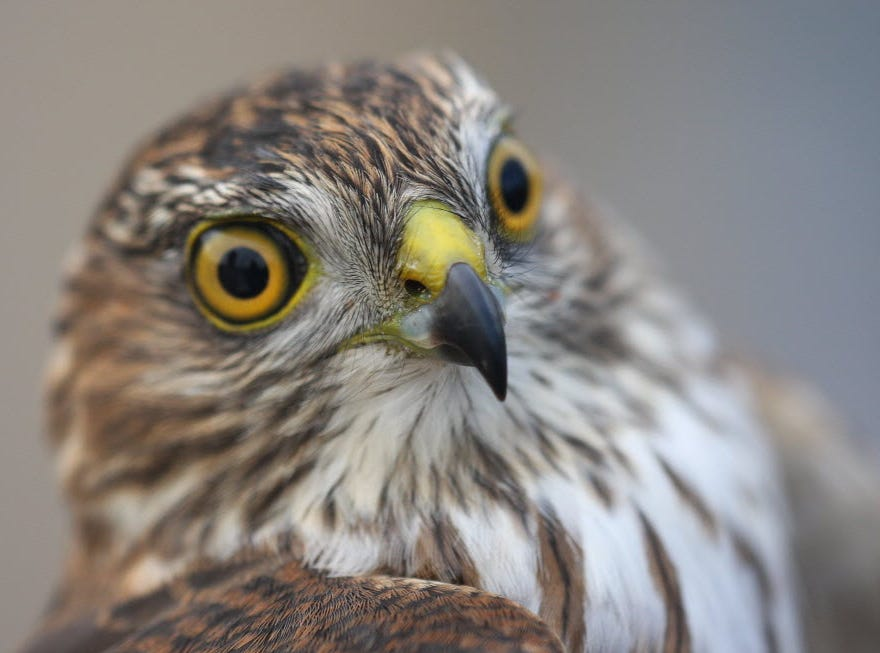 A sharp-shinned hawk was photographed at the bird-banding station by the old Erie Landfill in North Arlington.