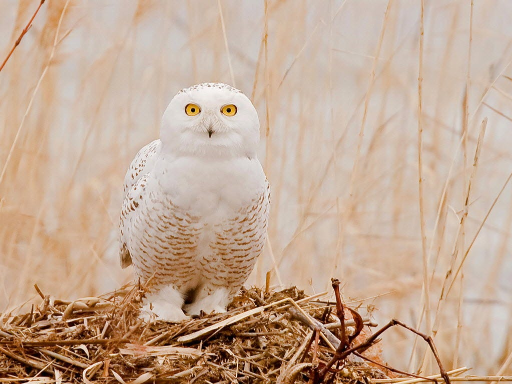 Wintering snowy owl in Lyndhurst in January 2009.