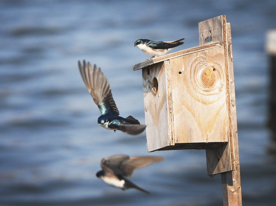Tree Swallows are seen around a bird house on Marsh Discovery trail in the Meadowlands.