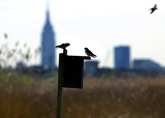 Swallows in the Meadowlands with the Empire State Building and New York City skyline in the distance.