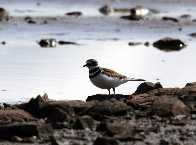 A killdeer shore bird seen in the mudflats of Harrier Meadow in 2011.