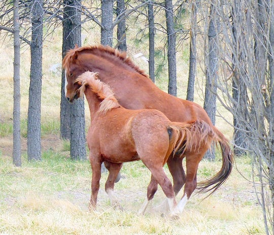 The origins are unknown of herds of free-roaming horses in the Alto area north of Ruidoso.