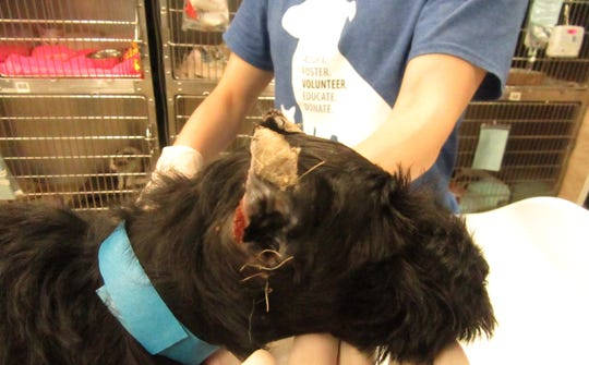 The SPCA of Philadelphia confiscated these miniature schnauzers with fresh wounds due to ear docking, which the SPCA alleges was not done by a licensed vet under anesthesia, as required by law in PA.