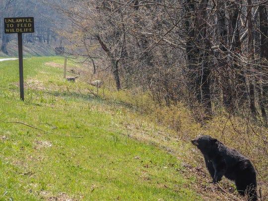 A black bear in the Shenandoah National Park outside of Waynesboro taken by Stuarts Draft resident Andrea Popick.