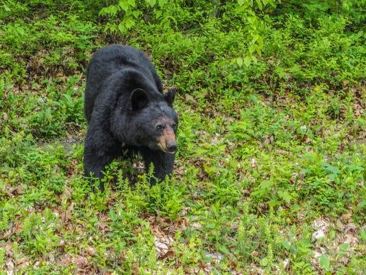 2016 05 29 Shenandoah Np Black Bear 2 1