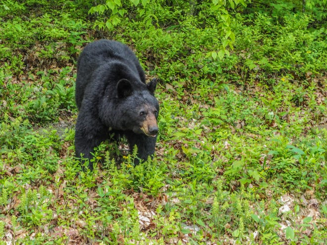 A black bear in the Shenandoah National Park outside of Waynesboro taken by Stuarts Draft resident Andrea Popick.