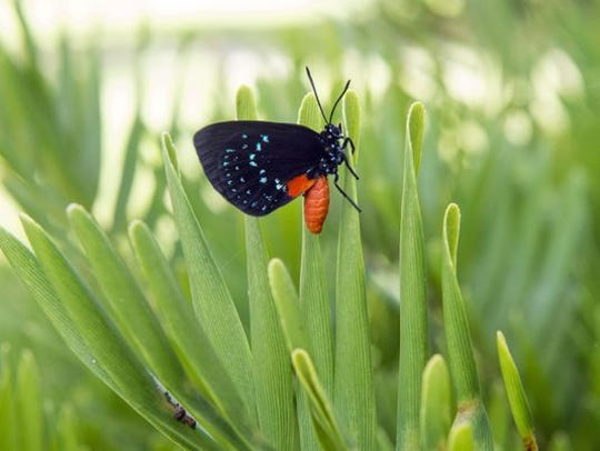 An Atala butterfly is seen August 4, 2017, resting on a coontie plant at Fort Pierce Inlet State Park. All species of the coontie plant are classified as commercially exploited. Atala butterflies, which rely on the plant, were once thought to be extinct, but are thriving in small pockets around South Florida.