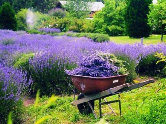 Go see the flowers blooming at Lavender Fields in Milton, the state's only lavender farm.   lavenderfieldsde.com