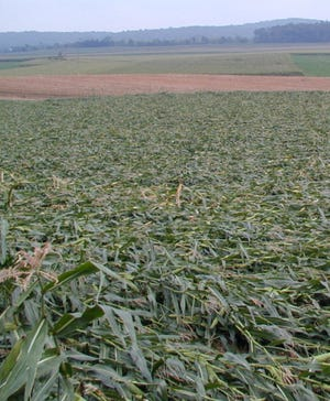 Recent high winds combined with saturated soils have resulted in lodged corn.
