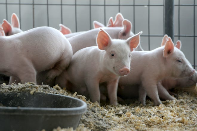 """A liter of piglets huddle together in their pen during the NC Mountain State Fair at the WNC Agricultural Center on Sept. 7, 2018. On display at the fair are also chicks, hatching eggs and a """"moo-ternity"""" ward with pregnant cows that are predicted to have calves throughout the week."""