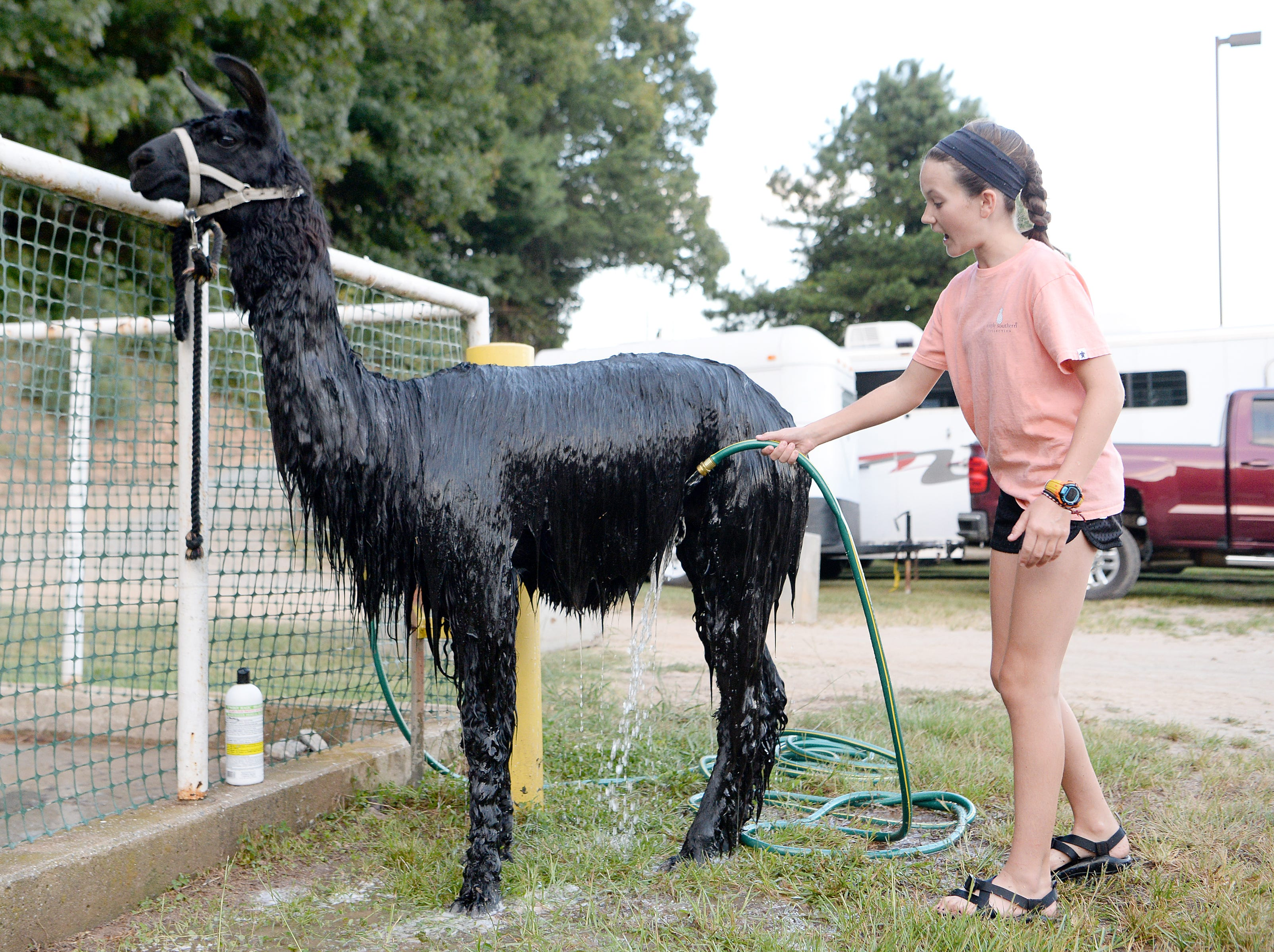 Allie Justice, 13, washes her llama, Jellybean, during the opening day of the NC Mountain State Fair at the WNC Agricultural Center on Sept. 7, 2018.