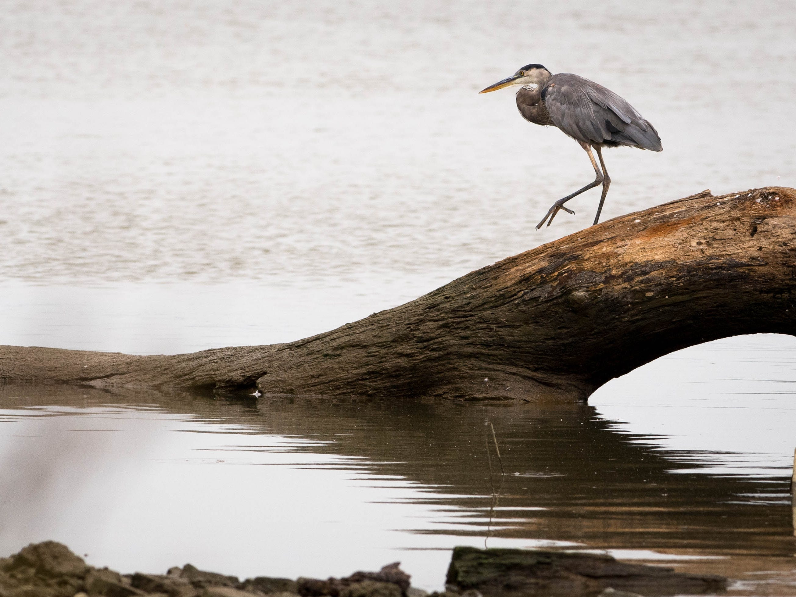 A Great Blue Herron goes for a stroll on top of a log at the Henderson riverfront Wednesday, August 15, 2018.