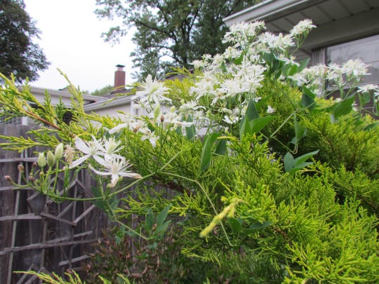 The invasive sweet autumn clematis covers a variegated juniper.