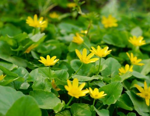Ranunculus Ficaria Olena Mykhaylova 123rf 9449341 M