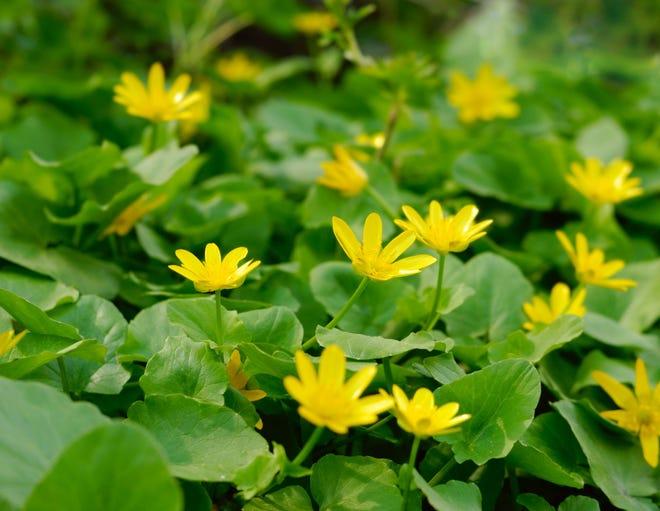 9449341 - spring messenger. lesser celandine. ranunculus ficaria. ficaria grandiflora