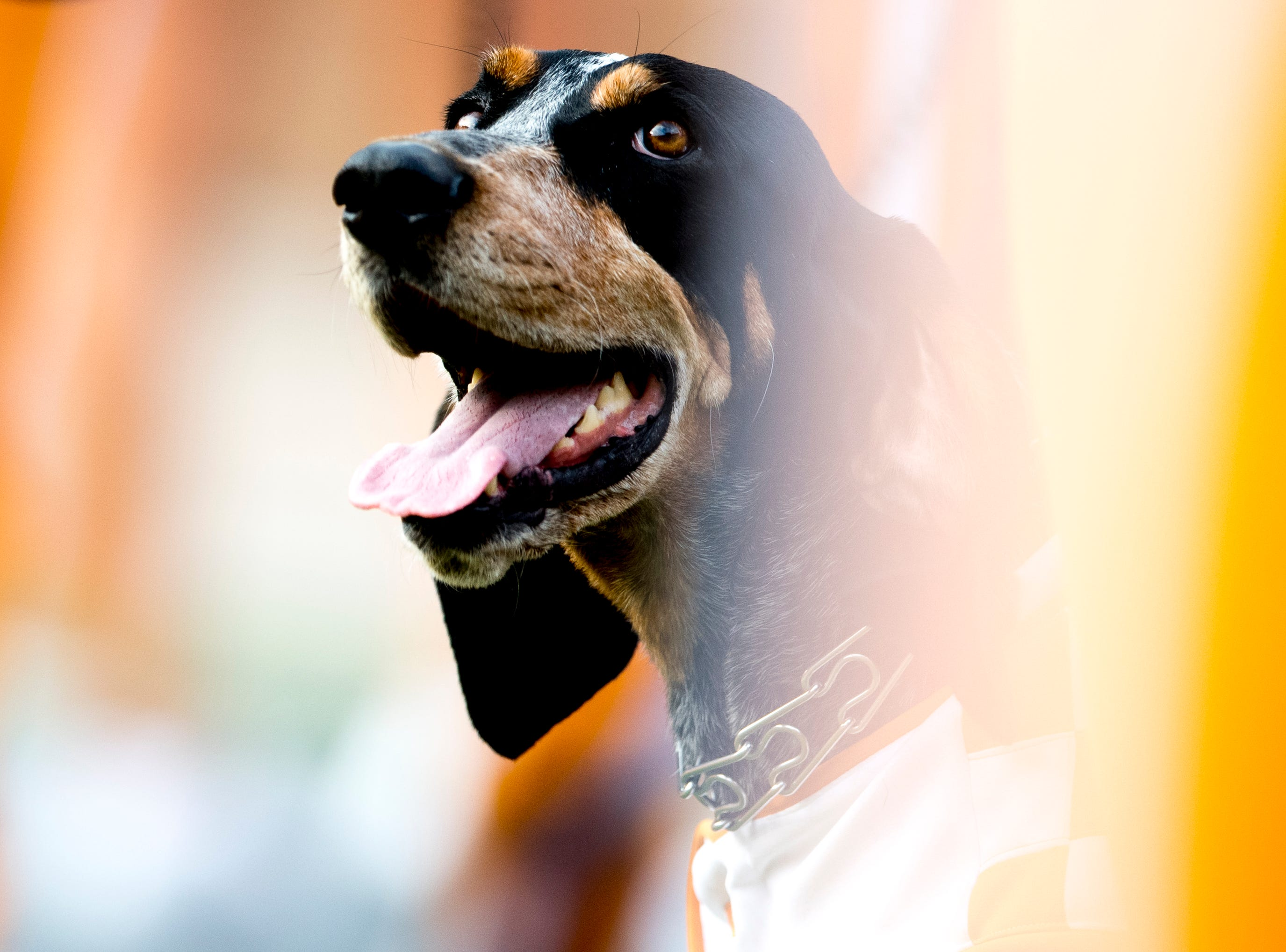 Smokey watches the game action from the sidelines during a game between Tennessee and ETSU at Neyland Stadium in Knoxville, Tennessee on Saturday, September 8, 2018.
