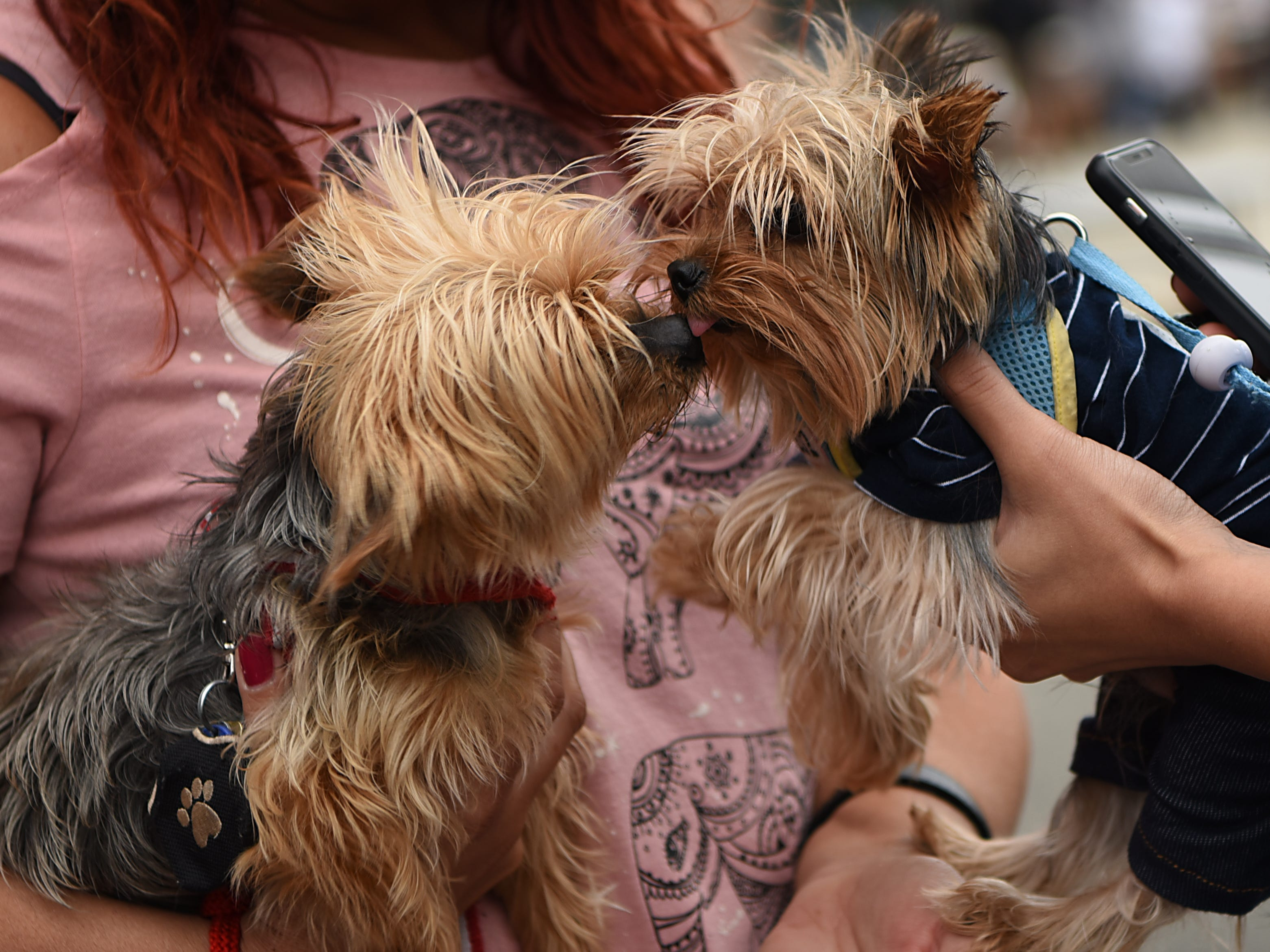 Two Yorkies greet one another at Woofstock 2018, a benefit for Bergen County animal rescue organizations, at City Place in Edgewater on Saturday September 8, 2018.