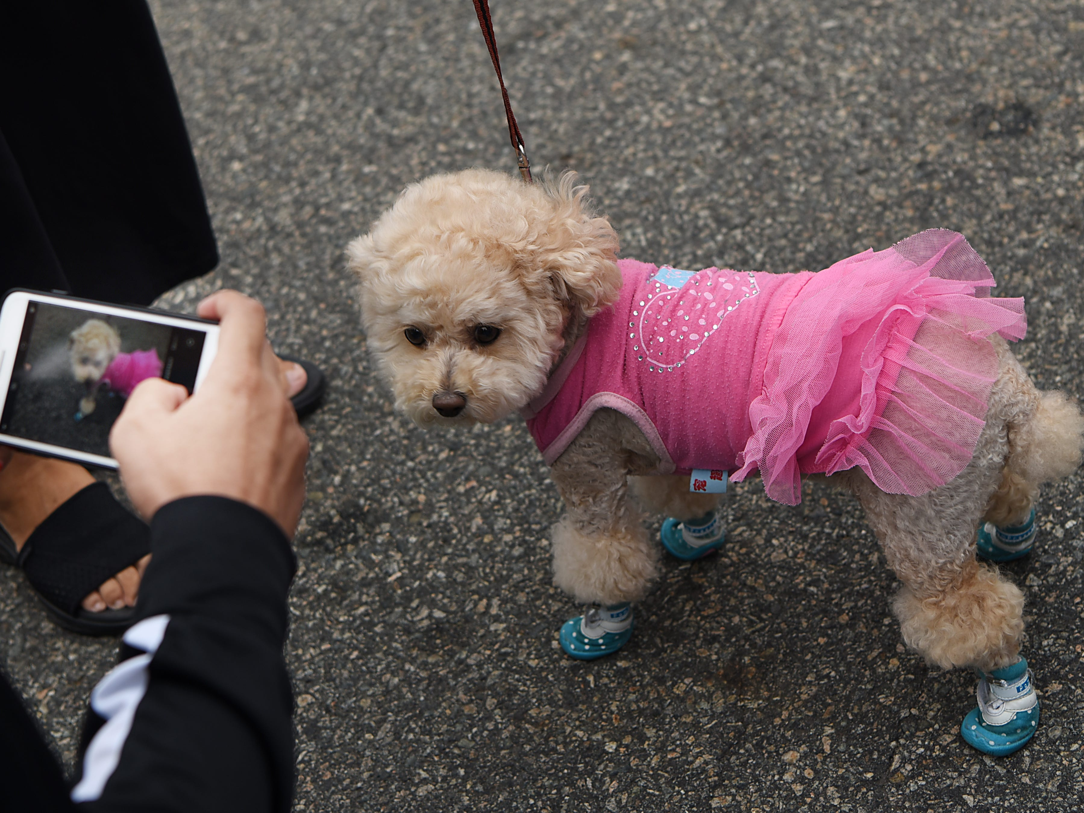 Chanel, a nine year old dog, gets her photo taken. Woofstock 2018, a benefit for Bergen County animal rescue organizations, at City Place in Edgewater on Saturday September 8, 2018.