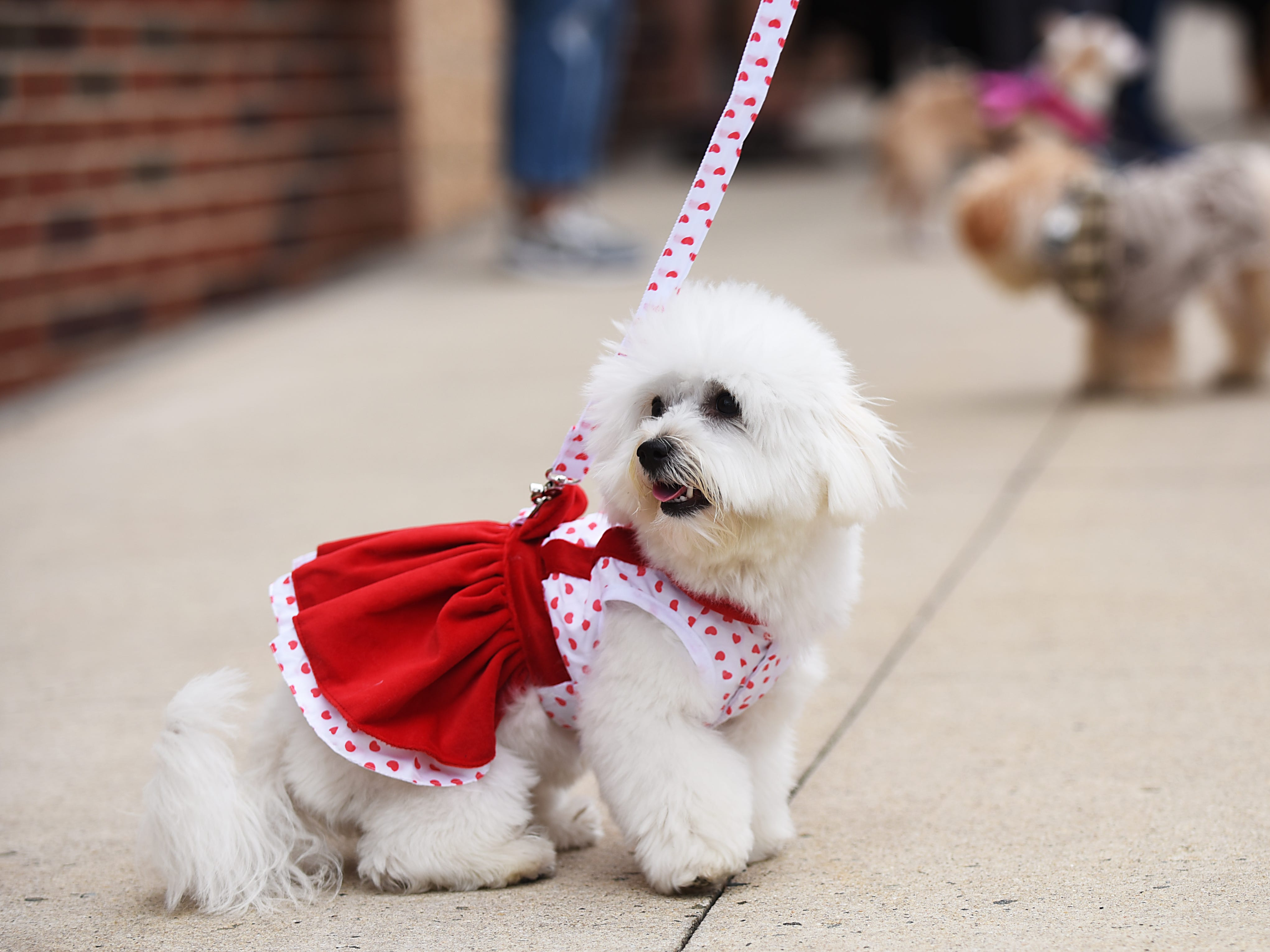 Milky, a one year old Coton de Tulear from Edgewater, wears a red dress at Woofstock 2018, a benefit for Bergen County animal rescue organizations, at City Place in Edgewater on Saturday September 8, 2018.