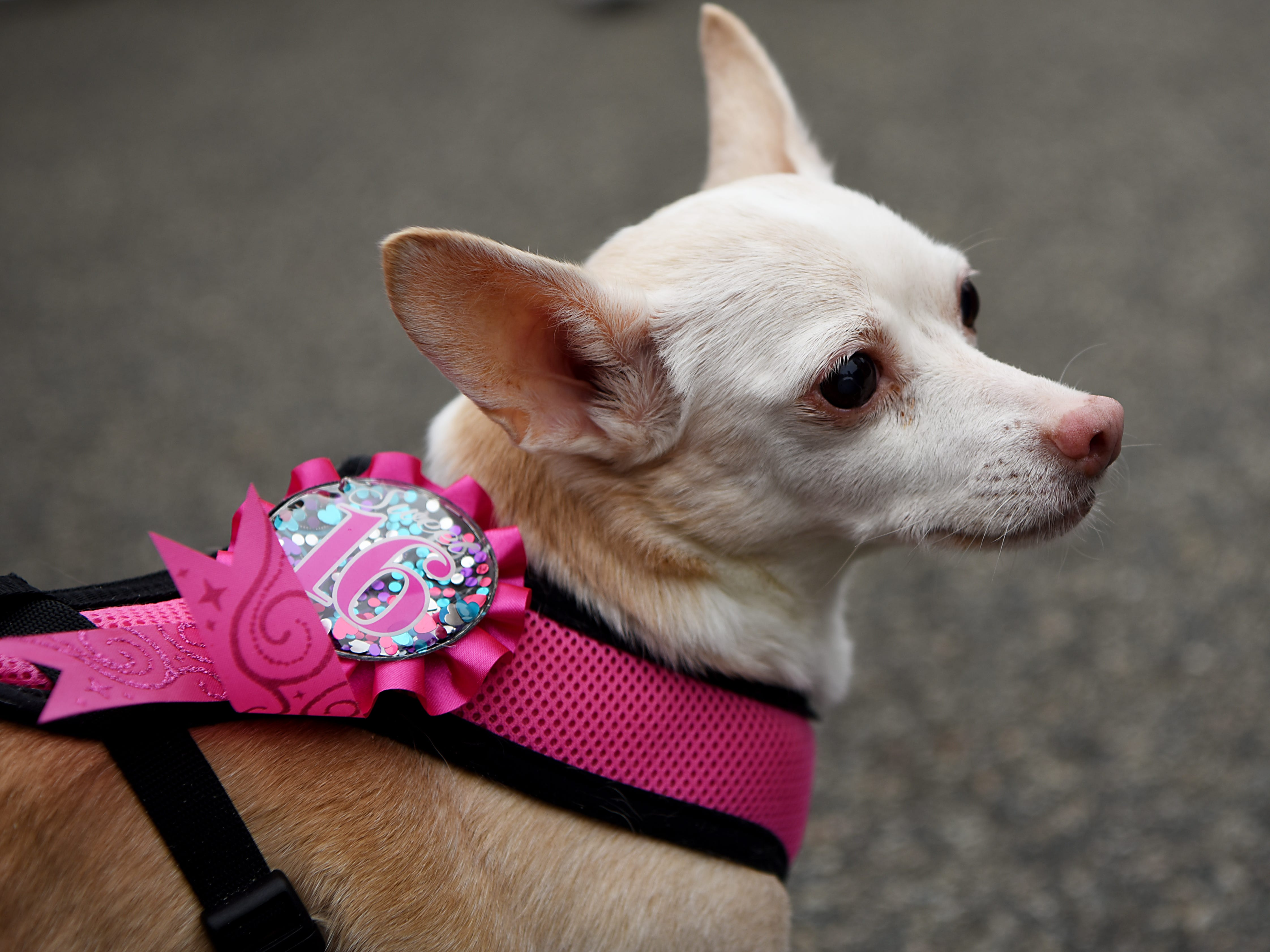 Linda, a 16 year old Chihuahua mix from North Bergeen, proudly flaunts her age. Woofstock 2018, a benefit for Bergen County animal rescue organizations, at City Place in Edgewater on Saturday September 8, 2018.