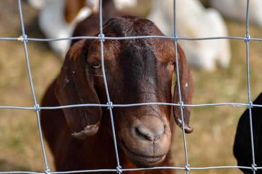 Fair-goers can feed goats at the York Fair, Saturday, September 8, 2018.