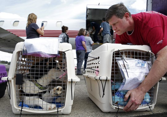 Alex Schuttpelz looks at a Husky in a crate while unloading another dog from an airplane at McNary Field in Salem, Oregon, on Saturday, Sept. 8, 2018.