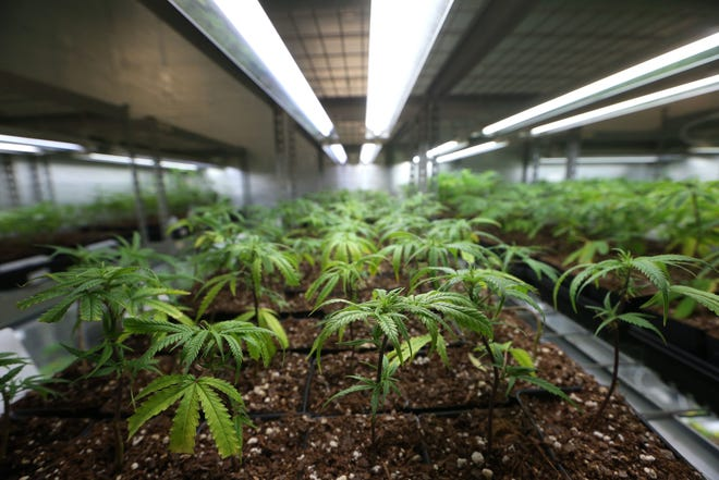 Medical marijuana is one of the issues on the table in the Florida's Agricultural Commissioner elections.