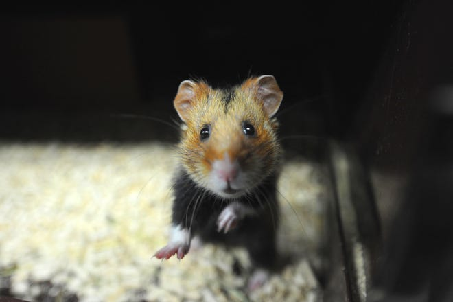 Rats and hamsters are the most commonly used animals in research studies at FSU.