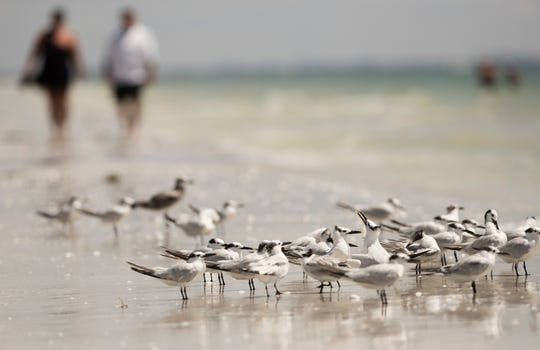 Shore birds gather Sunday on Sanibel Beach. Area beachgoers are starting to return to the beaches of Sanibel and Captiva as the red tide outbreak lessens.